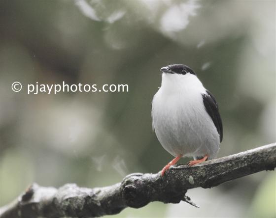 White-bearded Manakin, Manacus manacus, manakin, bird, colombia