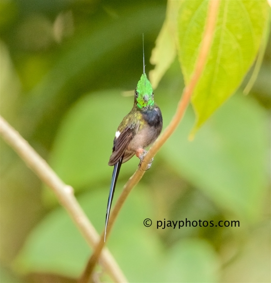 Wire-crested Thorntail, Discosura popelairii, hummingbird, bird, ecuador