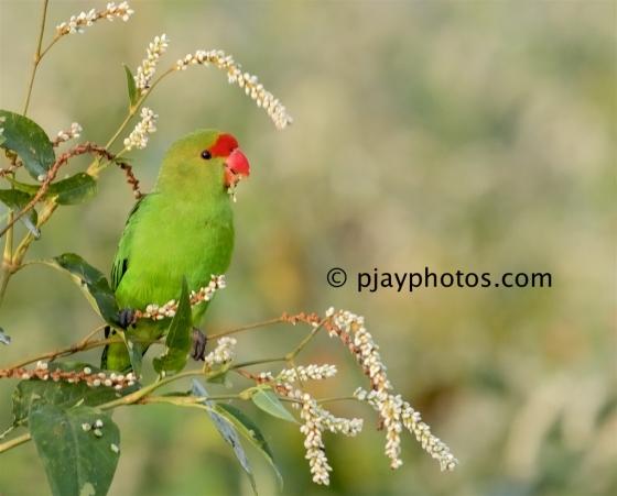 Black-winged Lovebird, Agapornis taranta, lovebird, parrot, bird, ethiopia