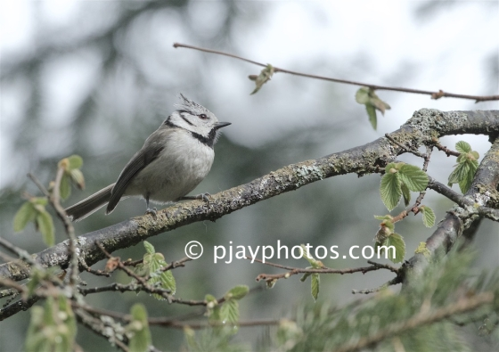 Crested Tit, Lophophanes cristatus, tit, bird, italy