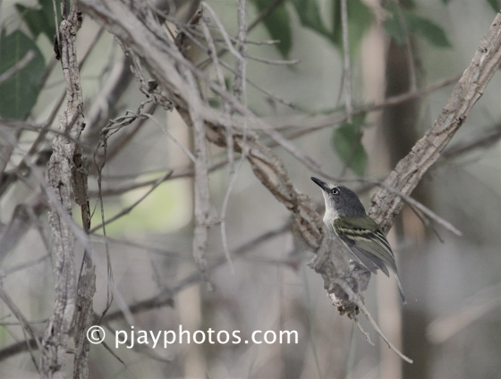 Slate-headed Tody-flycatcher, Poecilotriccus sylvia, tyrant flycatcher, bird, colombia
