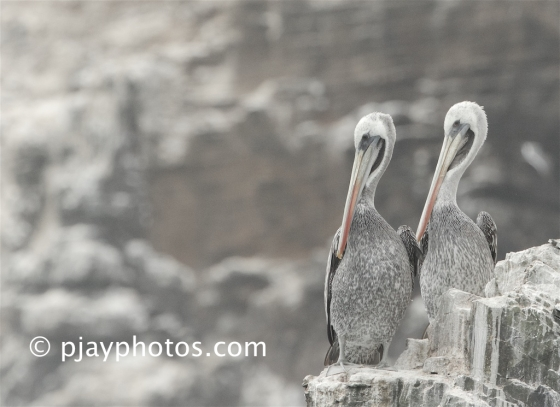 Peruvian Pelican, Pelecanus thagus, pelican, bird, peru