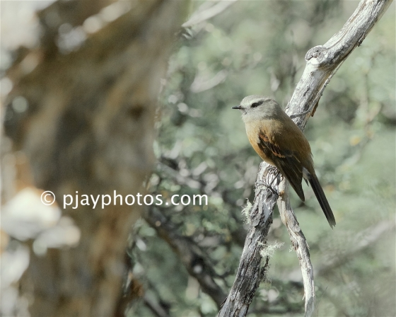 Brown-backed Chat-tyrant, Ochthoeca fumicolor, tyrant flycatcher, bird, peru
