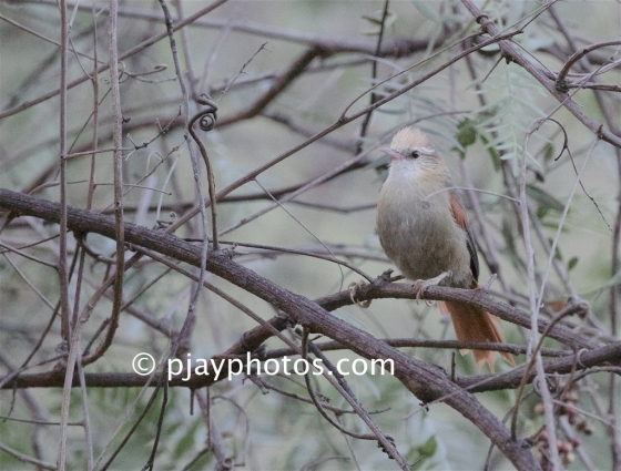 Creamy-crested Spinetail, Cranioleuca albicapilla, ovenbird, bird, peru