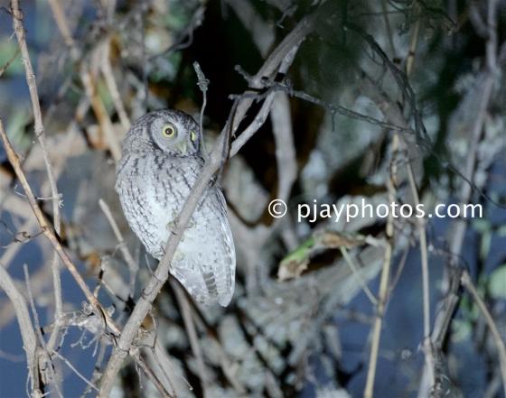 Koepcke's Screech-owl, Megascops koepckeae, owl, bird, peru