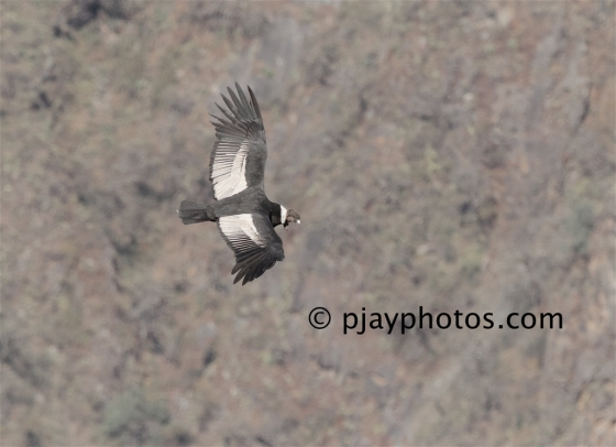 Andean Condor, Vultur gryphus, condor, new world vulture, bird, peru