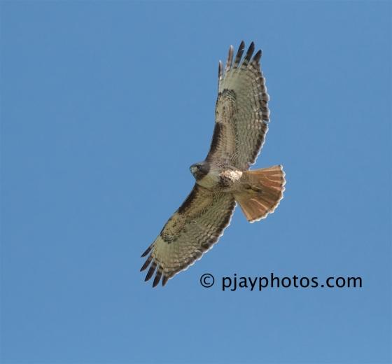 Red-tailed Hawk, Buteo jamaicensis, hawk, raptor, bird of prey, bird, usa, washington state