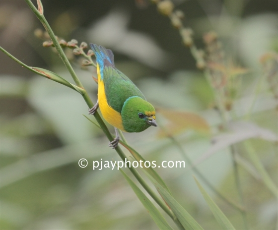 Blue-naped Chlorophonia, Chlorophonia cyanea, chlorophonia, finch, bird, colombia