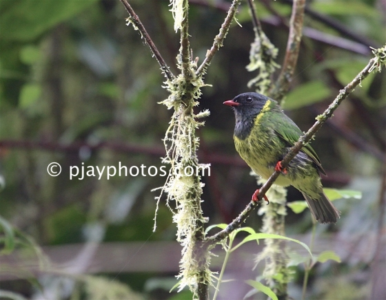 Green-and-black Fruiteater, Pipreola riefferii, fruiteater, cotinga, bird, colombia