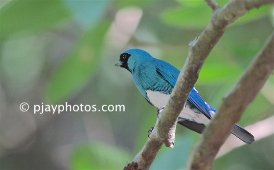 Swallow Tanager, Tersina viridis, tanager, bird, colombia