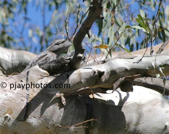 Tawny Frogmouth, Podargus strigoides, frogmouth, bird, australia