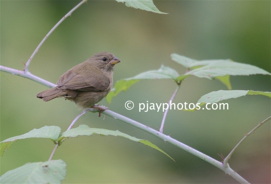 Dull-colored Grassquit, Asemospiza obscura, grassquit, tanager, bird, colombia