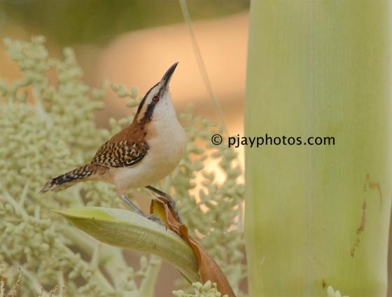 Rufous-backed Wren, Campylorhynchus capistratus, wren, bird, costa rica