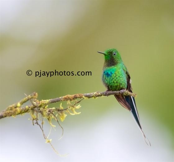 Green Thorntail, Discosura conversii, hummingbird, bird, ecuador