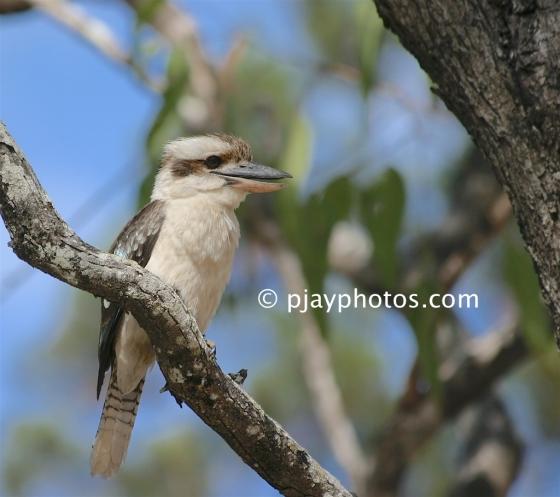 Laughing Kookaburra, Dacelo novaeguineae, kingfisher, bird, australia
