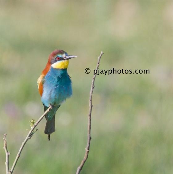 European Bee-eater, Merops apiaster, bee-eater, bird, spain