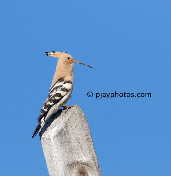 Common Hoopoe, Upupa epops, hoopoe, bird, spain