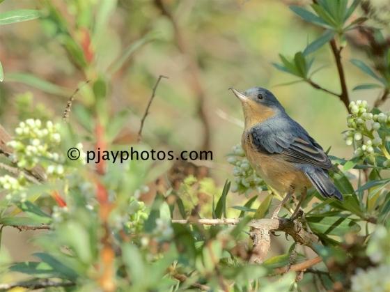 Rusty Flowerpiercer, Diglossa sittoides, flowerpiercer, tanager, bird, peru