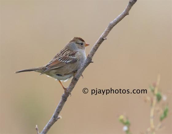 White-crowned Sparrow, Zonotrichia leucophrys, sparrow, new world sparrow, bird, canada