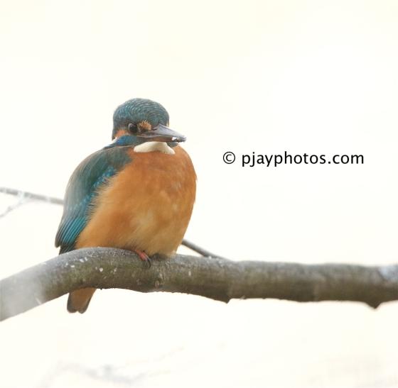 Common Kingfisher, Alcedo atthis, kingfisher, bird, bavaria, munich, germany